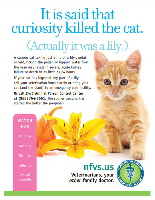 Lily flowers are very dangerous for cats. Just a small nip or lick can result in severe acute kidney failure or death. Click to download flyer.
